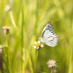 Informatii mai putin cunoscute despre fluturi, unele dintre cele mai frumoase si elegante insecte